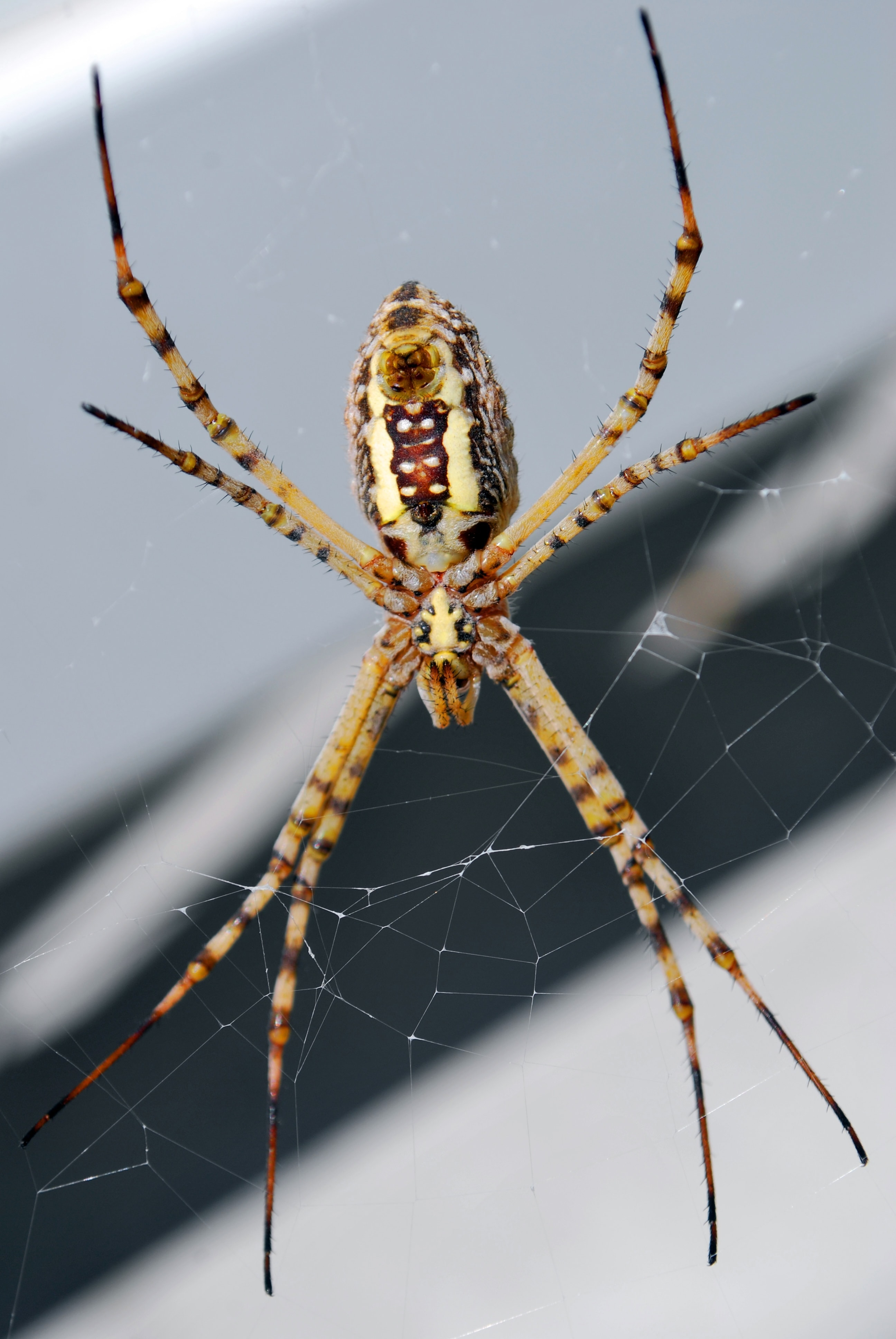Picture of Argiope trifasciata (Banded Garden Spider) - Female - Ventral