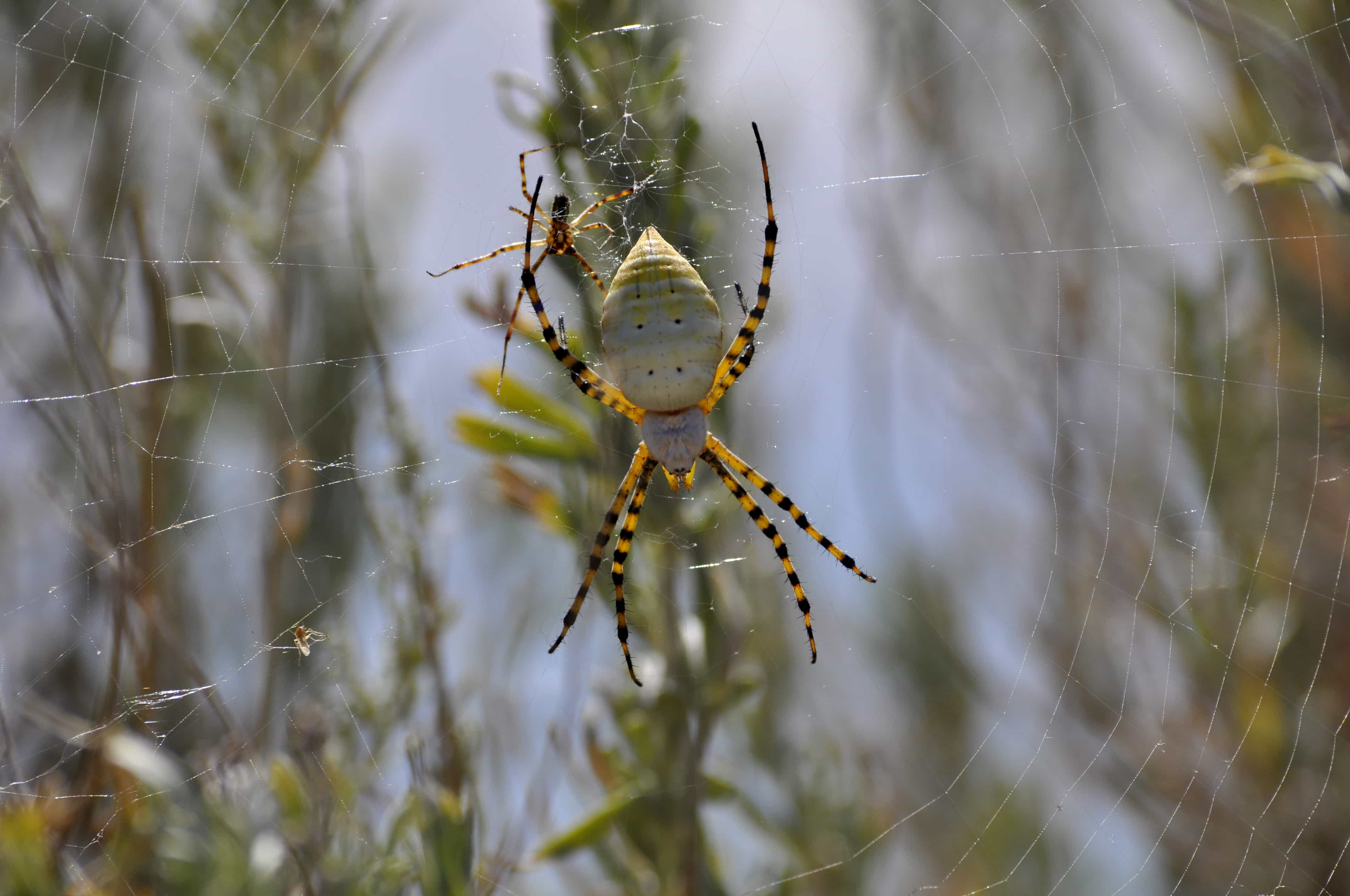 Picture of Argiope trifasciata (Banded Garden Spider) - Male,Female - Dorsal,Webs