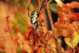 Picture of Argiope aurantia (Black and Yellow Garden Spider) - Female - Lateral