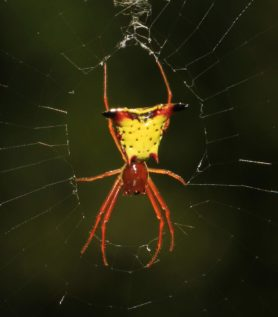 Picture of Micrathena sagittata (Arrow-shaped Micrathena) - Dorsal,Webs