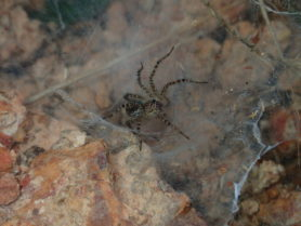 Picture of Lycosidae (Wolf Spiders) - Lateral,Webs