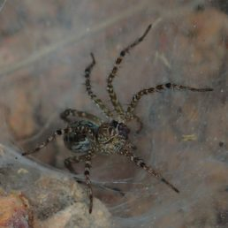 Featured spider picture of Hippasa holmerae (Lawn Wolf Spider)