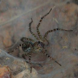 Featured spider picture of Hippasa holmerae (Lawn Wolf Spider)
