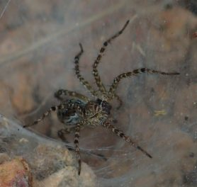 Picture of Hippasa holmerae (Lawn Wolf Spider) - Lateral,Webs