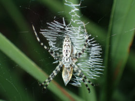 Picture of Argiope aurantia (Black and Yellow Garden Spider) - Dorsal,Webs,Prey