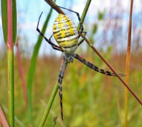 Picture of Argiope trifasciata (Banded Garden Spider) - Female - Dorsal