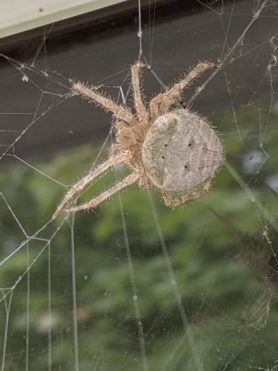 Picture of Araneus cavaticus (Barn Orb-weaver Spider) - Dorsal,Webs