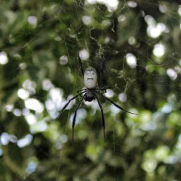 Featured spider picture of Nephila fenestrata (Hairy Golden Orb-weaver)