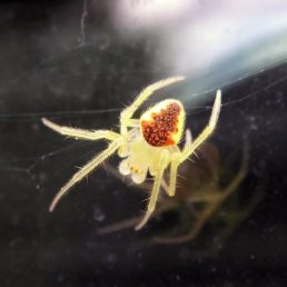 Featured spider picture of Araneus alboventris
