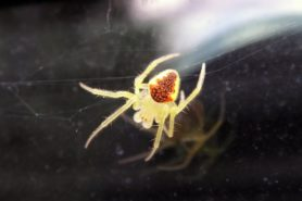 Picture of Araneus alboventris - Male - Dorsal
