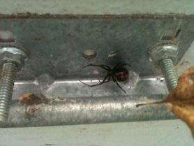 Picture of Latrodectus variolus (Northern Black Widow) - Female - Ventral