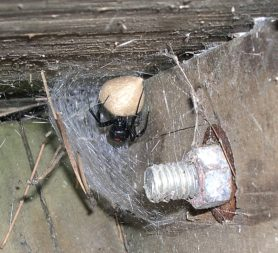 Picture of Latrodectus spp. (Widow Spiders) - Female - Egg Sacs,Webs