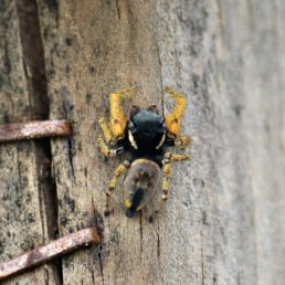 Featured spider picture of Phidippus arizonensis