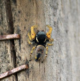 Picture of Phidippus arizonensis - Male - Dorsal