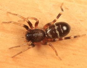 Picture of Castianeira longipalpa - Dorsal,Spiderlings