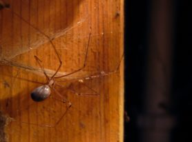 Picture of Pholcus phalangioides (Long-bodied Cellar Spider) - Female - Lateral,Webs