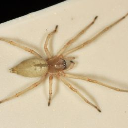 Featured spider picture of Cheiracanthium inclusum (Agrarian Sac Spider)