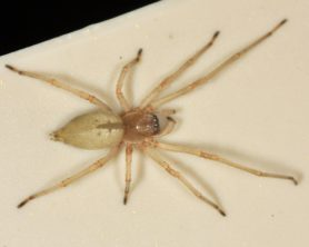 Picture of Cheiracanthium inclusum (Agrarian Sac Spider) - Female - Dorsal