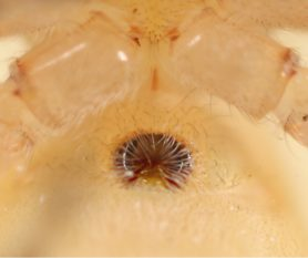 Picture of Cheiracanthium inclusum (Agrarian Sac Spider) - Female - Genitalia