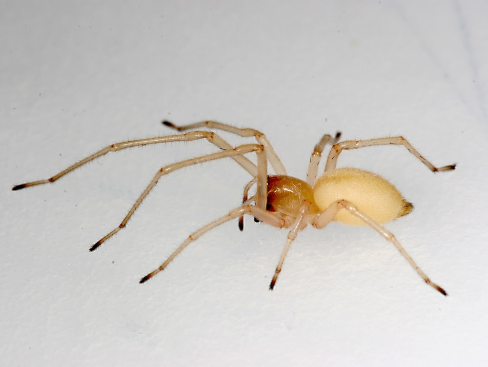 Picture of Cheiracanthium inclusum (Agrarian Sac Spider) - Female - Lateral