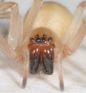 Picture of Cheiracanthium inclusum (Agrarian Sac Spider) - Female - Eyes