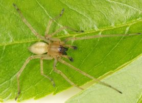 Picture of Cheiracanthium inclusum (Agrarian Sac Spider) - Male - Dorsal