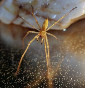 Picture of Cheiracanthium spp. (Long-legged Sac Spiders) - Male - Dorsal
