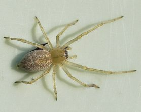 Picture of Cheiracanthium mildei (Long-legged Sac Spider) - Female - Dorsal