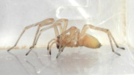 Picture of Cheiracanthium mildei (Long-legged Sac Spider) - Female - Lateral