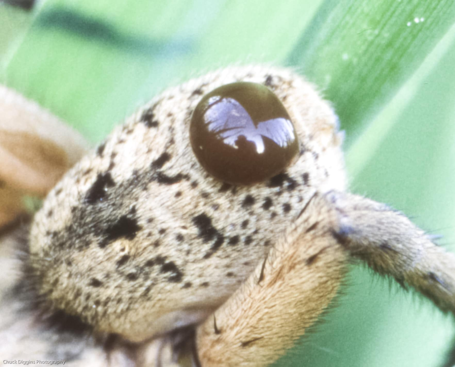 Picture of Tigrosa grandis - Male