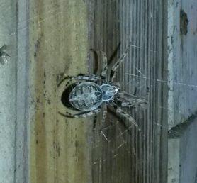 Picture of Larinioides sclopetarius (Bridge Orb-weaver) - Dorsal,Webs
