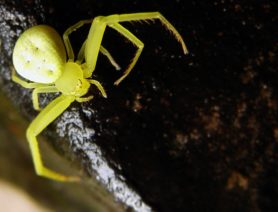 Picture of Misumessus oblongus (American Green Crab Spider) - Female - Dorsal,Eyes