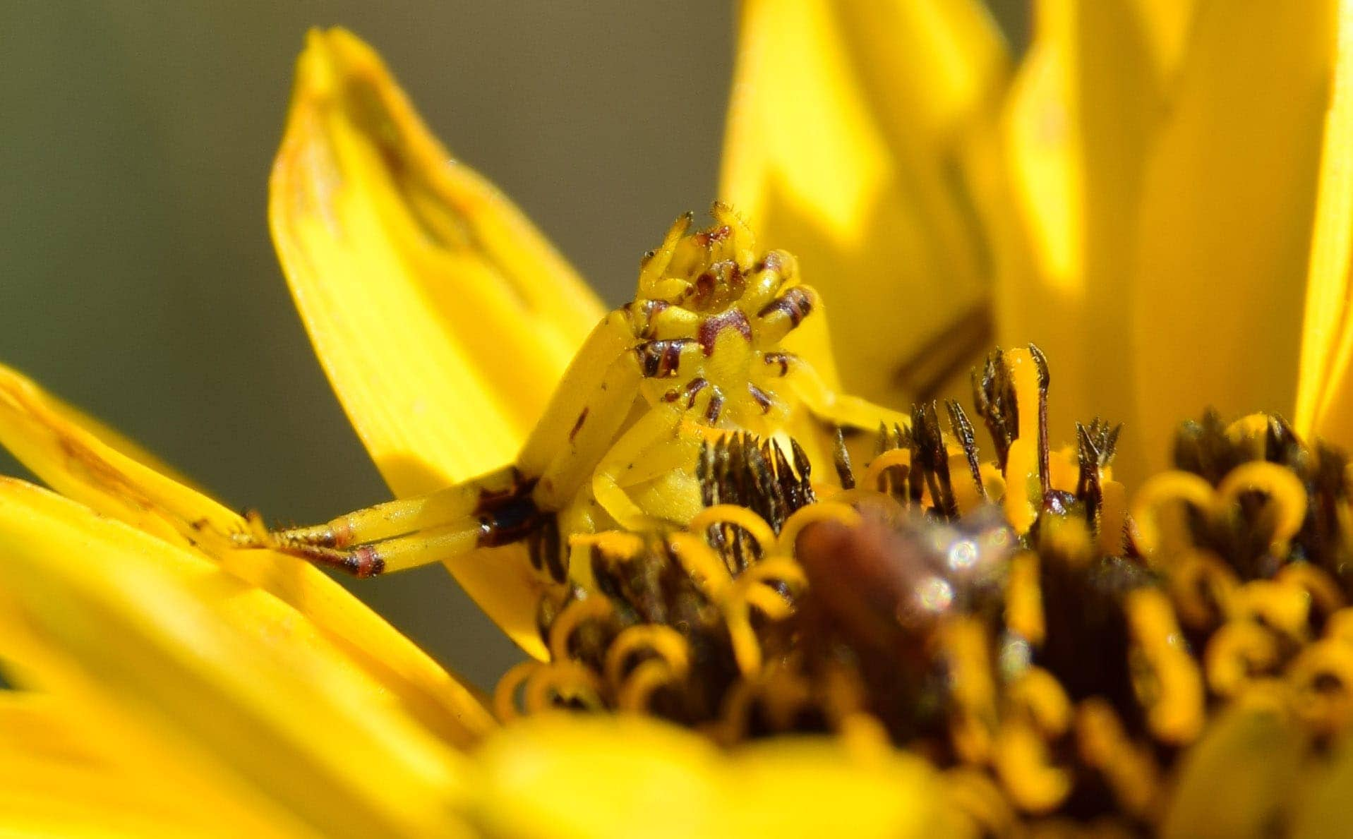 Picture of Misumenoides formosipes (White-banded Crab Spider) - Ventral