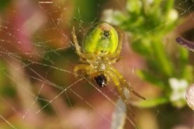 Picture of Araniella spp. - Female - Ventral,Webs