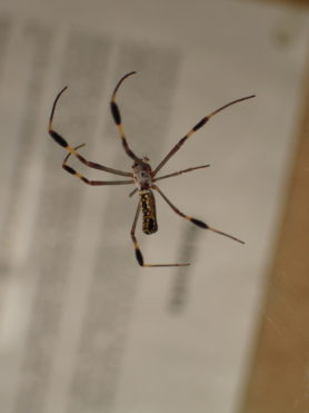 Picture of Nephila clavipes (Golden Silk Orb-weaver) - Lateral