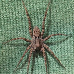 Featured spider picture of Pardosa xerampelina