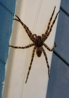 Picture of Dolomedes tenebrosus (Dark Fishing Spider) - Dorsal