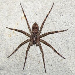 Featured spider picture of Dolomedes tenebrosus (Dark Fishing Spider)