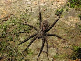 Picture of Dolomedes tenebrosus (Dark Fishing Spider) - Female - Dorsal
