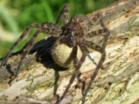 Picture of Dolomedes tenebrosus (Dark Fishing Spider) - Female - Egg Sacs,Eyes
