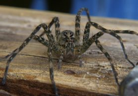 Picture of Dolomedes tenebrosus (Dark Fishing Spider) - Female - Eyes