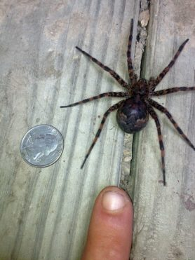 Picture of Dolomedes tenebrosus (Dark Fishing Spider) - Female - Dorsal,Gravid