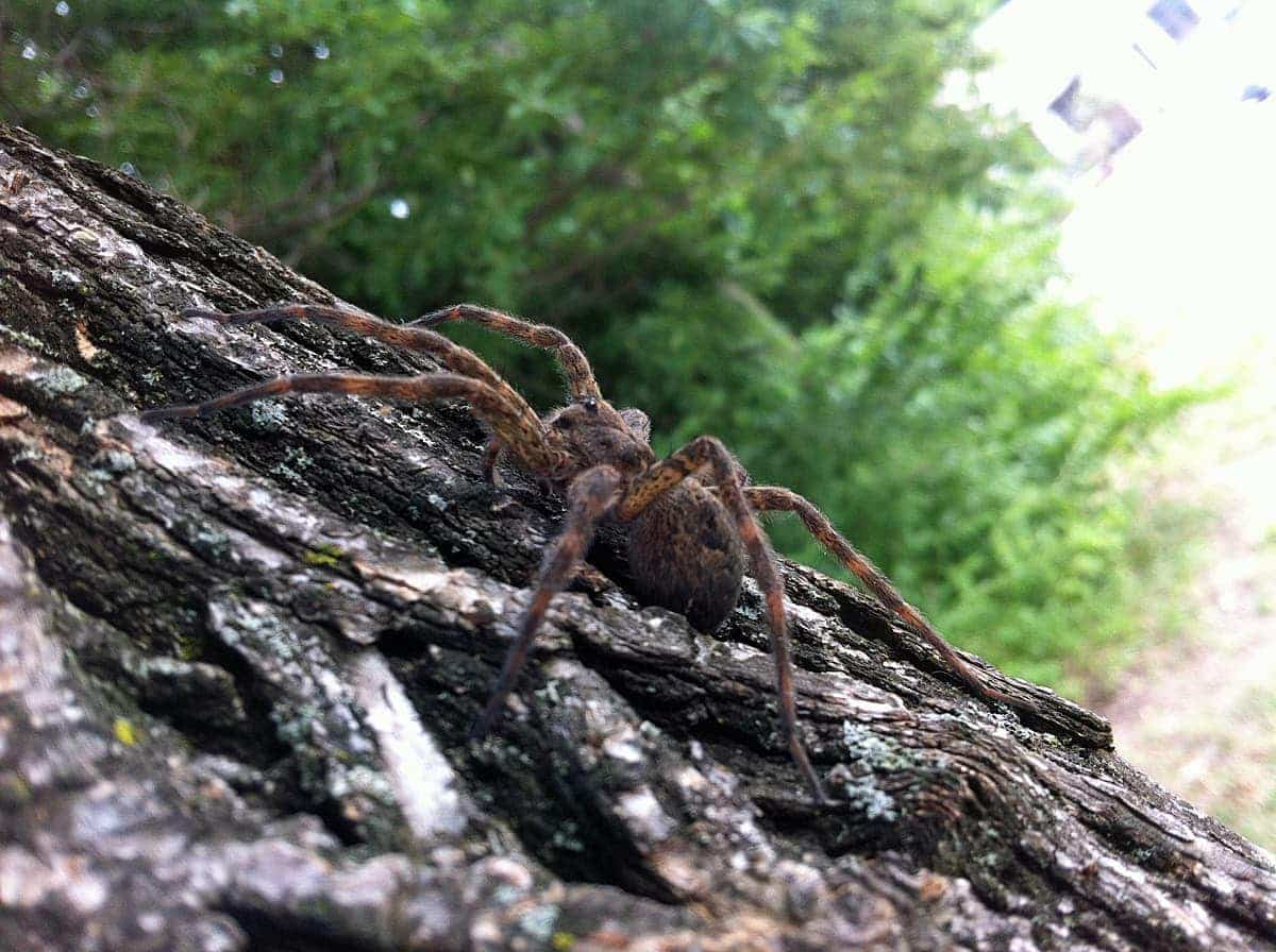 Picture of Dolomedes tenebrosus (Dark Fishing Spider) - Female - Lateral