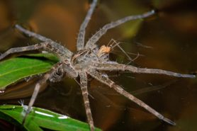 Picture of Dolomedes tenebrosus (Dark Fishing Spider) - Lateral,With Prey