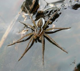 Picture of Dolomedes triton (Six-spotted Fishing Spider) - Male - Dorsal