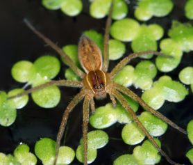 Picture of Dolomedes triton (Six-spotted Fishing Spider) - Dorsal,Eyes