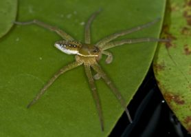Picture of Dolomedes triton (Six-spotted Fishing Spider) - Male - Lateral
