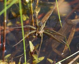 Picture of Dolomedes triton (Six-spotted Fishing Spider) - Male - Dorsal,Eyes