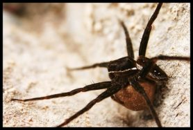 Picture of Dolomedes triton (Six-spotted Fishing Spider) - Female - Egg Sacs,Lateral
