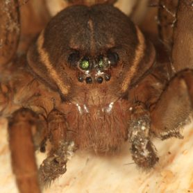 Picture of Dolomedes triton (Six-spotted Fishing Spider) - Eyes